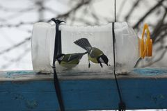 Tits on the feeder. Tits in winter eat seeds on a feeder from a plastic bottle Stock Photo