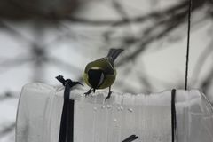 Tits on the feeder. Tits in winter eat seeds on a feeder from a plastic bottle Royalty Free Stock Images