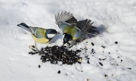 Tits fight for food. Hungry Tits fight over seeds Royalty Free Stock Photography