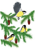 Tits on fir branches Stock Image