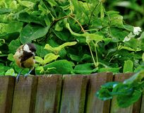 Tits w ogródzie zdjęcie stock