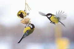 Tits w zimie latać i siedzieć na dozowniku obraz royalty free