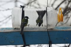 Tits on the feeder. Tits in winter eat seeds on a feeder from a plastic bottle Stock Photography