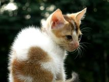 Tittle cute cat. The beautiful little cat in Bengal Royalty Free Stock Image