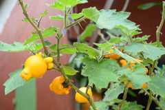 Titty-Frucht stockfotos