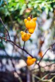 Titty fruit on tree in garden or solanum mammosum or the apple o. F sodom or thorny popolo Stock Photo