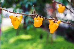 Titty fruit on tree in garden or solanum mammosum or the apple o. F sodom or thorny popolo Stock Image