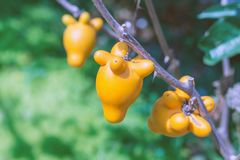 Titty fruit on tree in garden or solanum mammosum or the apple o. F sodom or thorny popolo Royalty Free Stock Image