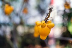 Titty fruit on tree in garden or solanum mammosum or the apple o. F sodom or thorny popolo Stock Photography