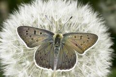 Tityrus del Lycaena/la mariposa de cobre fuliginosa Imágenes de archivo libres de regalías