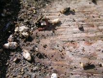 Tiza-cría de los apis de Ascosphaerosis de las abejas, calcárea, cría de la tiza, foulbrood seco Foto de archivo libre de regalías