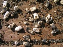 Tiza-cría de los apis de Ascosphaerosis de las abejas, calcárea, cría de la tiza, foulbrood seco Imagen de archivo