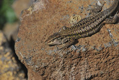 Tizon lizard Royalty Free Stock Photo