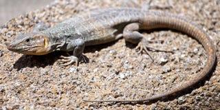 Tizon lizard in Gran Canaria, Canary Islands Stock Photo