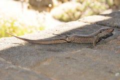 Tizon lizard in Tenerife, Canary Islands. Gallotia Galloti. Northern Tenerife Lizard lying in the sun stock images