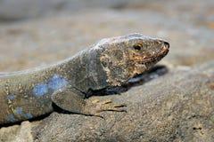 Tizon lizard in Tenerife, Canary Islands. Gallotia Galloti Royalty Free Stock Photo