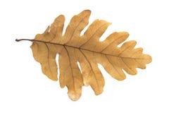 Tjänstledighetar av oaken Arkivbilder