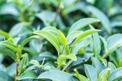 Tjänstledigheter för grönt te Royaltyfri Bild