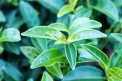 Tjänstledigheter för grönt te Arkivbild
