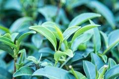 Tjänstledigheter för grönt te Fotografering för Bildbyråer