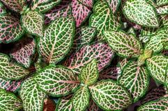 Tjänstledigheter för växt för nerv för Fittonia verschaffeltii (fittoniaargyroneura) fotografering för bildbyråer