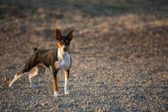 Tjalla den Terrier hunden på grusvägen arkivfoto