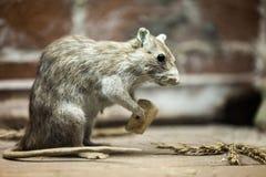 Tjalla djur som äter brödmat Royaltyfria Bilder