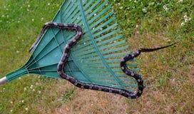 Tjalla ormen på en kratta Fotografering för Bildbyråer