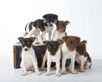 Tjalla Terriervalpar Arkivfoton