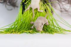 Tjaller lögn på det gröna gräset Litet nyfött behandla som ett barn gnagarecloseupen royaltyfria foton