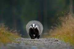 Tjata spring på grusvägen, livsmiljön för den djura naturen, Tyskland, Europa Djurlivplats Lös bäverskinn, Melesmeles, djur i trä Arkivbilder
