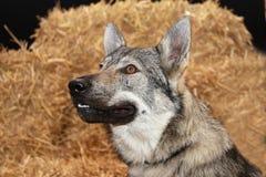 Tjech wolfdog Stock Afbeeldingen