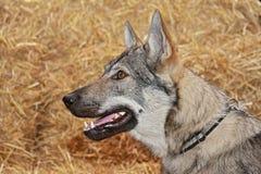 tjechwolfdog arkivbilder