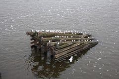 Tjeckien: Seagulls sitter på en trävågbrytare arkivfoto