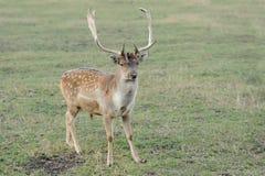 tjeckisk tekniker för preserve för hjortträdalek Fotografering för Bildbyråer