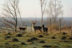 tjeckisk tekniker för preserve för hjortträdalek Arkivbild