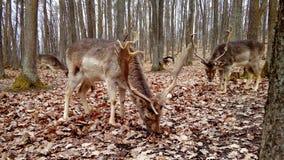 tjeckisk tekniker för preserve för hjortträdalek Arkivfoton
