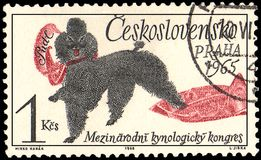 TJECKOSLOVAKIEN - CIRCA 1965: en stämpel som skrivs ut i Tjeckoslovakien, visar en pudelhund, den internationella Cynological för stock illustrationer