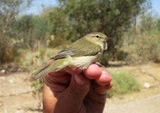 Tjiftjaf, Common Chiffchaff, Phylloscopus collybita. Tjiftjaf gevangen in Eilat op het ringstation; Common Chiffchaff caught at the Eilat ringing station stock image