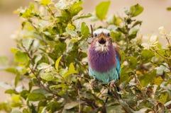 Tjilpende kleurrijke tropische vogel Stock Afbeelding