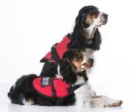 Tjänste- hundkapplöpning Royaltyfria Foton