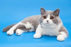 Tjock bicolor brittisk katt på en blå bakgrund Fotografering för Bildbyråer
