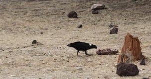 Tjock-fakturerade Raven Eating Leftovers arkivfilmer