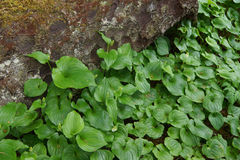 Tjock groundcover av den falska liljekonvaljen Royaltyfri Fotografi