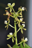 Tjock Lipped Anacheilium orkidé Arkivfoton