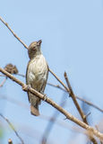 Tjock näbbflowerpecker Royaltyfri Fotografi