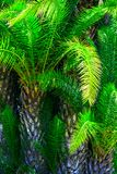 Tjock palmträddjungel Tropisk naturgr?nskabakgrund Genomdr?nkt vibrerande gr?n f?rg f?r smaragd Naturlig l?vverkmodell royaltyfria bilder