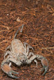 Tjock Tailed Scorpion (Tityus sp.) Royaltyfri Foto