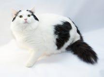 Tjock vit katt med svarta fläckar som sitter fearfully royaltyfri bild