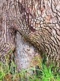 Tjocka texturerade skälllager på det gamla trädet, Sydney, Australien arkivbilder